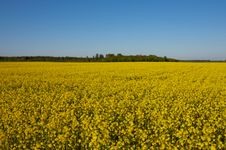 Free Canola Field Stock Photos - 5344033
