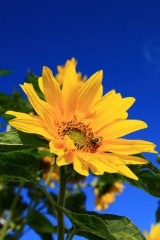 Free Sunflower Royalty Free Stock Photography - 5344277