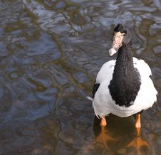 Free Black Crested Duck Royalty Free Stock Photos - 5344958