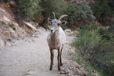 Young Mountain Sheep  In Grand Canyon Royalty Free Stock Photography