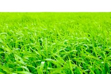 Free Grass Isolated Royalty Free Stock Photography - 5345417