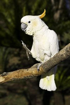 Free Karate Cockatoo Royalty Free Stock Images - 5345739