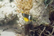 Free Red Sea Anemonefish (Amphipiron Bicinctus) And Bub Stock Photos - 5345953