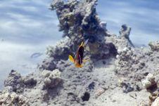 Free Red Sea Anemonefish (Amphipiron Bicinctus) And Bub Royalty Free Stock Images - 5345959