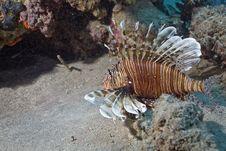 Free Comon Lionfish (pterois Miles) Stock Images - 5346014