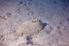 Free Panther Flounder (bothus Pantherinus) Stock Images - 5346154