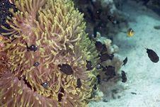 Free Red Sea Anemonefish (Amphipiron Bicinctus) Stock Image - 5346791