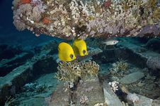 Free Masked Butterfly Fish (Chaetodon Semilarvatus) Stock Photography - 5346992