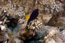 Free Yellowtail Tang (zebrasoma Xanthurum) Stock Photos - 5347163