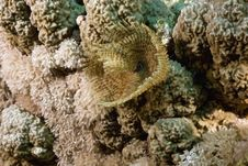 Free Feather Duster Worm (sabellastarte Indica) Royalty Free Stock Photography - 5347207