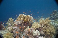 Free Coral And Fish Royalty Free Stock Photos - 5347238