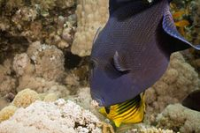 Free Blue Triggerfish (pseudobalistes Fuscus) Royalty Free Stock Image - 5347546