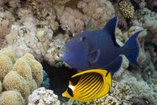 Free Blue Triggerfish (pseudobalistes Fuscus) Royalty Free Stock Photography - 5347557