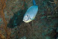 Free Sleek Unicornfish (naso Hexacanthus) Royalty Free Stock Photography - 5347637