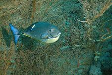 Free Sleek Unicornfish (naso Hexacanthus) Stock Photo - 5347640