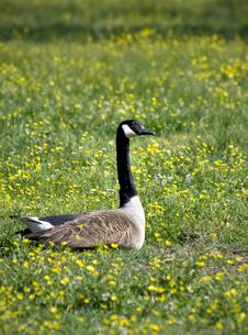 Free Canadian Goose Stock Photo - 5347650