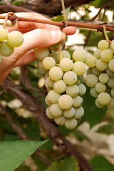 Free Bunch Of Grapes Royalty Free Stock Photo - 5347665