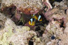 Free Red Sea Anemonefish (Amphipiron Bicinctus) Stock Photo - 5347700