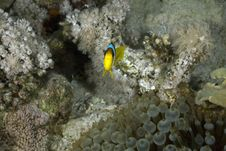 Free Red Sea Anemonefish (Amphipiron Bicinctus) Stock Photos - 5347703