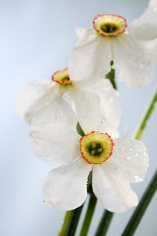 Free Narcissus Stock Image - 5348451
