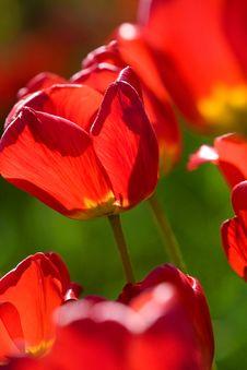 Free Beautiful Red Tulips Stock Photo - 5348690