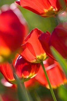 Free Beautiful Red Tulips Stock Photography - 5348702