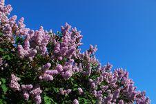 Free Lilacs Stock Photo - 5349000