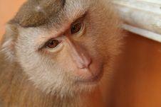 Free Monkey Royalty Free Stock Images - 5349089