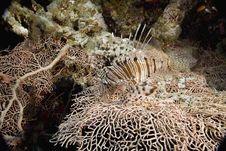 Comon Lionfish (pterois Miles) Stock Images