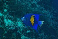Free Red Sea Angelfish (Pomacanthus Maculosus) Stock Image - 5349361