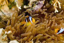 Free Red Sea Anemonefish (Amphipiron Bicinctus) Royalty Free Stock Photography - 5349607