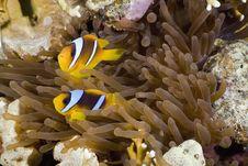 Free Red Sea Anemonefish (Amphipiron Bicinctus) Stock Images - 5349654