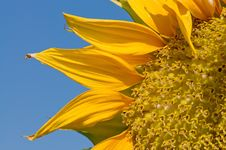 Free Sunflowers Royalty Free Stock Photo - 5349735
