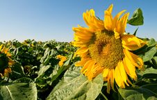 Free Sunflowers Royalty Free Stock Photos - 5349788
