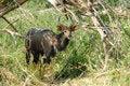 Free Nyala Male (Tragelaphus Angasii) Stock Photos - 5354613