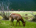 Free Young Elk Grazing In Spring Royalty Free Stock Photo - 5356445