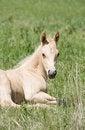 Free Palomino Quarter Horse Foal Royalty Free Stock Photo - 5358725