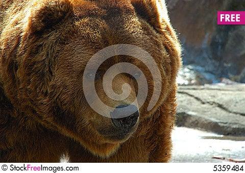 Brown bear face close up Stock Photo