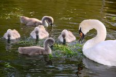 Free Five Cygnets And A Swan Royalty Free Stock Photos - 5350168