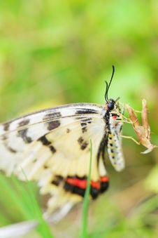 Free Butterfly(Acraea Issoria Hubner) Stock Photos - 5350263