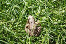 Free Green Frog Royalty Free Stock Photo - 5351005
