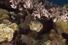 Free Yellowspotted Burrfish (cyclichthys Spilostylus) Royalty Free Stock Photography - 5351597