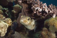 Free Yellowspotted Burrfish (cyclichthys Spilostylus) Stock Image - 5351601