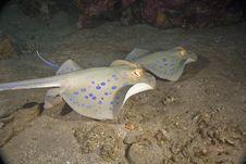 Free Bluespotted Stingray (taeniura Meyeni) Stock Photos - 5351643