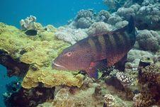 Free Red Sea Coralgrouper (plectropomus Pessuliferus) Stock Photos - 5351673