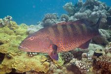Free Red Sea Coralgrouper (plectropomus Pessuliferus) Royalty Free Stock Photography - 5351677