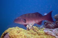 Free Red Sea Coralgrouper (plectropomus Pessuliferus) Royalty Free Stock Photo - 5351695
