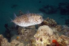 Free Yellowspotted Burrfish (cyclichthys Spilostylus) Stock Images - 5351754