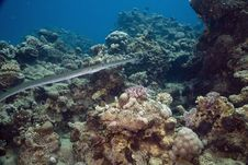 Smooth Cornetfish (fistularia Commersonii) Royalty Free Stock Photography