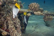 Threadfin Butterflyfish (chaetodon Auriga) Stock Photography
